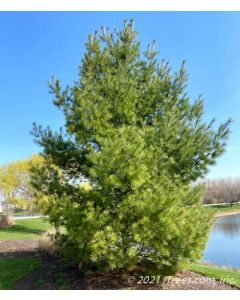 Maturing White Pine planted in a berm