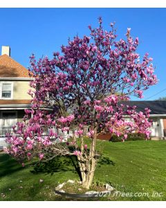 Mature Jane Magnolia with bright purple to pink flowers