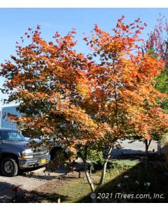 Mature Northern Glow Maple in the fall