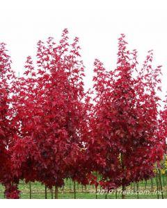 Red Fall foliage closeup