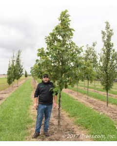 American Dream Oak in Nursery with Person Standing