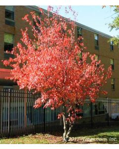 Amure Flame Maple Mature Tree with Red-Orange Fall Color