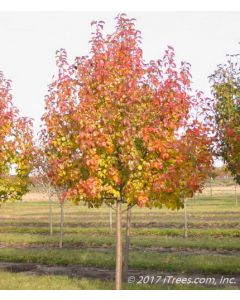 Aristocrat Ornamental Pear in Nursery Transitioning to Red Fall Color