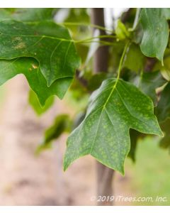 Arnold Tulp Tree Leaf Closeup