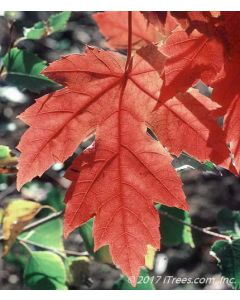 Autumn Blaze Maple Leaf Closeup with Bright Red Fall Color
