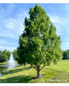 Bald Cypress in Nursery with Rusty Orange Fall Color