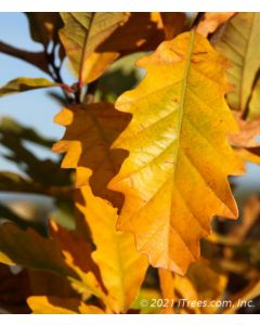 Bright yellow fall color leaves closeup