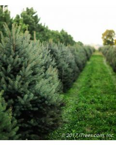 Colorado Blue Spruce Row in Nursery