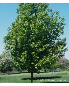 Crescendo™ Sugar Maple Mature Tree with Green Foliage
