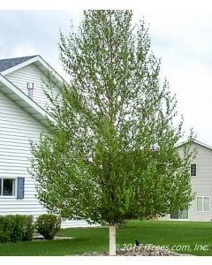 Mature Dakota Pinnacle Birch with Green Foliage