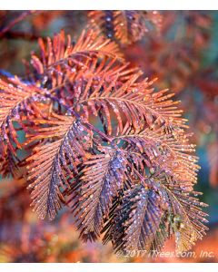 Dawn Redwood Rust Colored Fall Foliage Closeup with Water Droplets