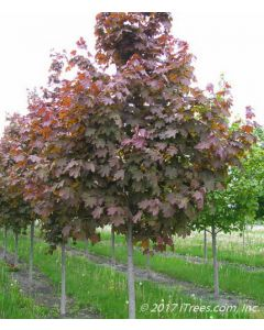 Deborah Norway Maple Nursery Row with Purple Leaves