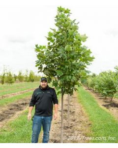 Emerald City Tulip Tree in Nursery with Person Standing