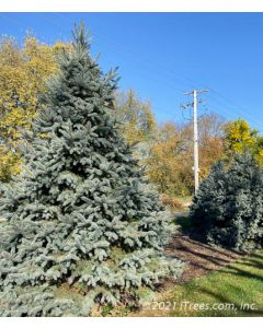 Mature Fat Albert Spruce with silvery-blue needle