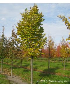 Green Mountain Silver Linden in Nursery Transitioning to Fall Color