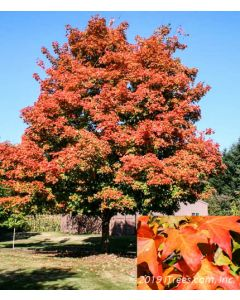 Green Mountain Sugar Maple with Orange Fall Color