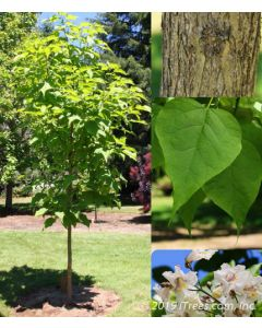 Heartland Catalpa Collage of Tree, Trunk, Leaves and flower
