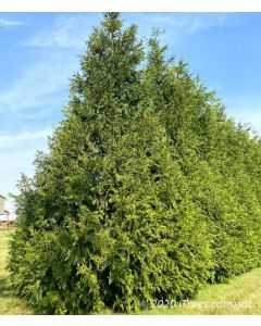 Green Giant Arborvitae in Privacy Hedge Row