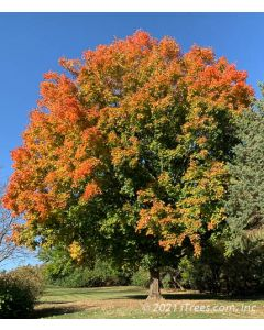 Mature Fall Fiesta Sugar Maple with transitioning fall color.