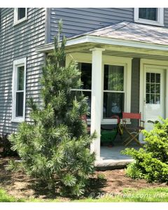 Vanderwolf's Pyramid Pine Planted in front of Home Near Porch