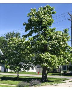 Mature Catalpa with Flowers