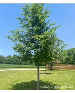 New Horizon Elm in the sumer time