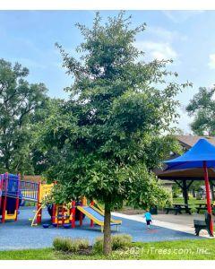 Shingle Oak with green foliage planted near a playground.