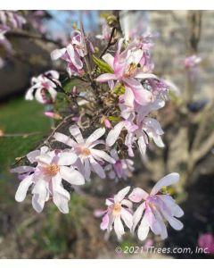 Leonard Messel Magnolia Flowers.