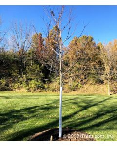 DeWitt Tree Wrap