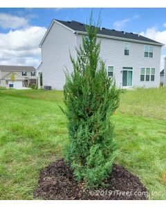 Mountbatten Juniper freshly planted at job site in rear of property