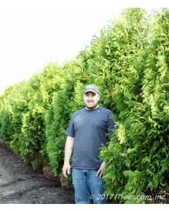 Nigra Arborvitae Row in Holding-Yard with Person Standing
