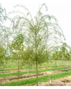 Niobe Golden Weeping Willow in Nursery