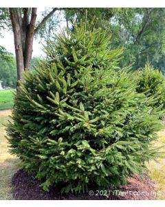 Mature Norway Spruce with drooping branches.