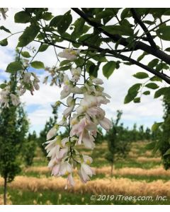 Perkins Pink Yellowwood in bloom in the nursery. White drooping flowers with brushstrokes of pastel pink.