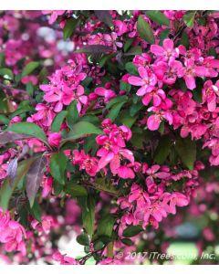 Prairifire Pink Flowering Crabapple