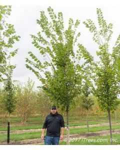Princeton American Elm in Nursery with Person Standing