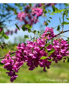 Purple Robe Black Locust