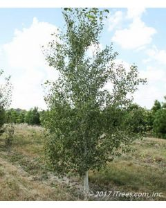 Quaking Aspen in Nursery with Green Foliage