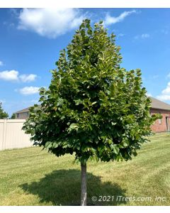 Young Redmond American Linden in a homeowner's yard.