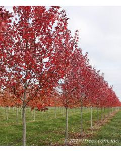 Redpointe Red Maple Row in Nursery with Red Fall Color