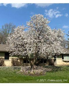 Mature Royal Star Magnolia in bloom.