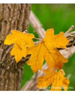 Rugged Ridge Yellow fall foliage closeup