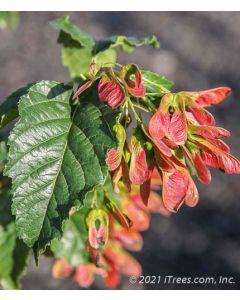 Ruby Slippers Amur Maple medium-green leaf closeup with bright red samaras.