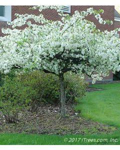 Mature Sargent Crabapple in Bloom