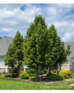 Shawnee Brave Bald Cypress in a group of 3