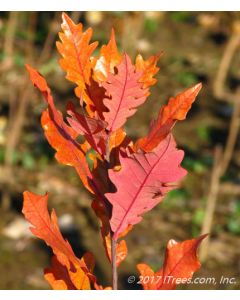 Streetspire Oak Red Fall Foliage