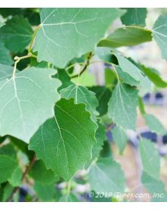 Swedish Columnar Aspen Foliage Closeup with serrated edges