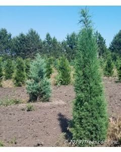 Taylor Juniper in Nursery Setting