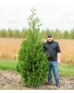 Techny Arborvitae with Person Standing