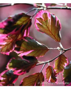 Tricolor Beech Foliage Closeup of Purple-bronze Leaves with Irregularly Colored Edges of Rose, Pink and Cream.